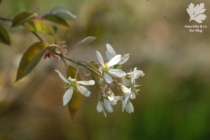 Blüte der Felsenbirne