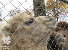 Tonis zoo Kamel.4jpg