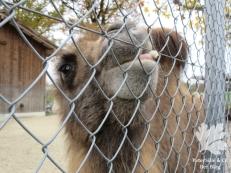 Tonis zoo Kamel5