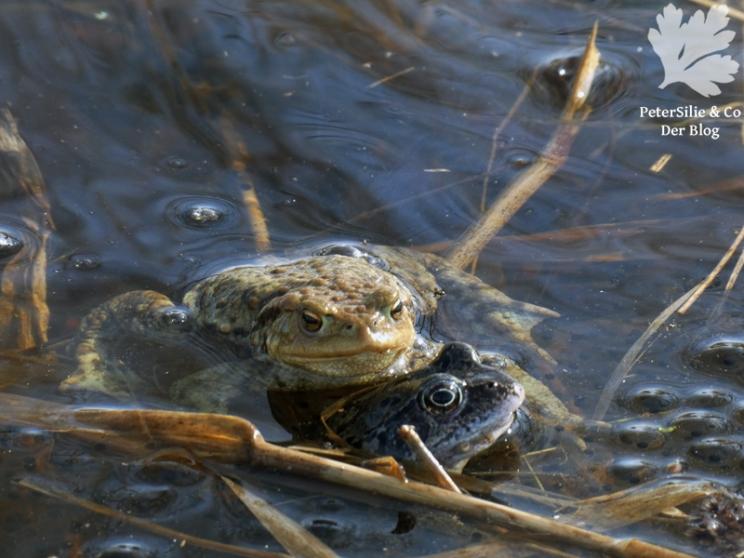 Erdkröte und Grasfrosch