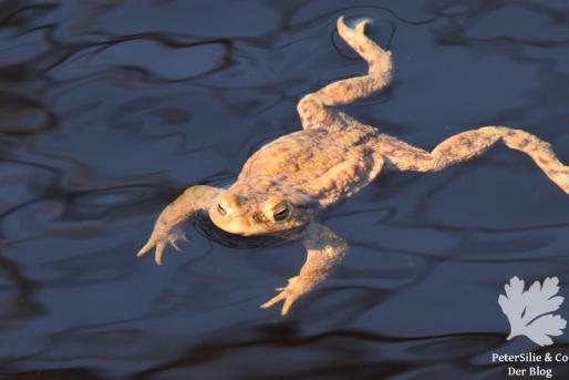 Erdkrötenmännchen44