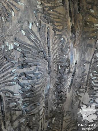 Bohrgänge in der Rinde mit abgestorbenen Larven