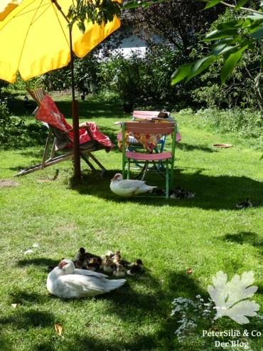 Entenfamilien im Garten